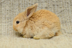 Newborn brown rabbit Stock Photos