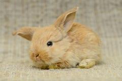 Newborn brown rabbit Stock Photos
