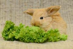 Newborn brown rabbit Royalty Free Stock Image