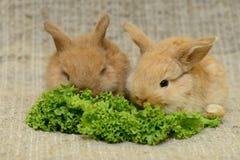 Newborn brown rabbits Royalty Free Stock Photos