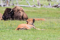 Newborn buffalo waking up from nap Stock Photography