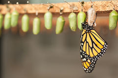 Newborn butterfly and green cocoons. Newborn butterfly and the green cocoons royalty free stock photos