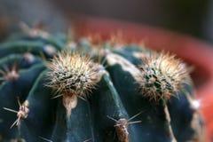 Newborn cactus Stock Image