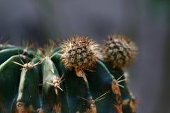 Newborn cactus Stock Photo