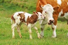 Newborn_calf Fotos de Stock