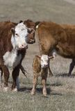 Newborn Calf Royalty Free Stock Photos