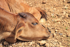 Newborn Calf Stock Photos