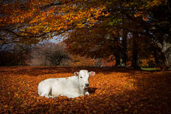 Newborn calf on autumn foliage of Canfaito Stock Images
