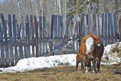 Newborn calf bonding with his mother Stock Image