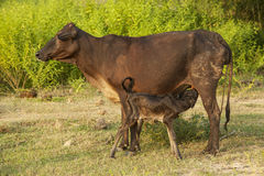 Newborn calf drinking milk from mother. Royalty Free Stock Photo