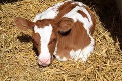 A newborn calf Royalty Free Stock Photography