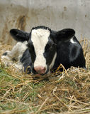 Newborn Calf in Hay. One day old calf lying in the hay of a stable Royalty Free Stock Images