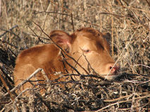 Newborn Calf Laying Down. A Hereford cross calf laying down in brambles, as a source of protection from mainly coyotes. The cow has hid her calf in  the rough Royalty Free Stock Photo