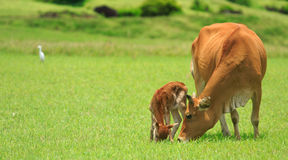 Newborn calf learn to walk, view from the Taiwan. Saw a newborn calf learn to walk in the pasture side Stock Photos