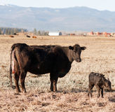 Newborn Calf Montana Ranch Unaided Birth Cattle Ranch Royalty Free Stock Photos