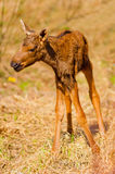 Newborn calf moose stands Stock Photography