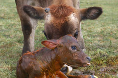 Newborn calf Stock Image