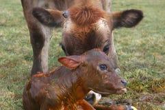 Newborn calf. Mother Jersey cow licking newborn calf, West Coast, New Zealand Stock Image
