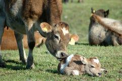 Newborn calf Stock Photos
