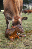 Newborn calf Stock Photography