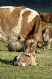 Newborn calf. Mother Jersey cow with newborn calf, West Coast, New Zealand Royalty Free Stock Photo