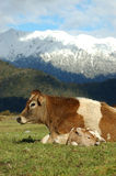 Newborn calf. Mother Jersey cow with newborn calf, West Coast, New Zealand Stock Photography