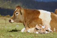 Newborn calf Stock Photo