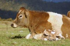 Newborn calf stock photo