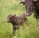 Newborn Calf. A newborn Red Devon calf being followed by its mother in a green field in the Hudson Valley of New York Stock Image