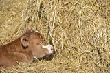 Calf resting in the sunshine. Newborn calf rest in the spring sunshine Royalty Free Stock Photography