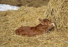 Calf in resting in the hay. Newborn calf rests in the hay on a sunny spring day Stock Images