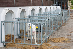 Newborn calf stands next to the calf pen Royalty Free Stock Image