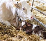 Newborn calf in the straw with her mom Stock Images