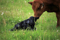 Newborn calve and it's mother Royalty Free Stock Images