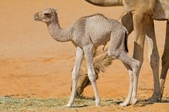 Newborn camel calf Royalty Free Stock Photography