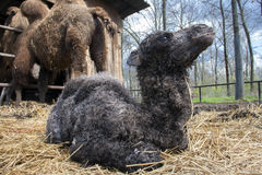 Newborn camel Royalty Free Stock Image