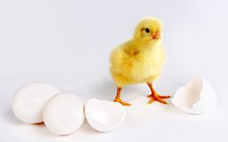 Newborn chick Royalty Free Stock Photos
