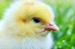 Newborn chick royalty free stock photography