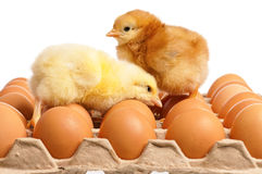 Newborn chick with fresh eggs Royalty Free Stock Image