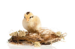 Newborn chick in nest Stock Photo