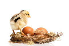 Newborn chick Royalty Free Stock Image