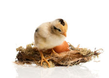 Newborn chick in the nest Royalty Free Stock Image