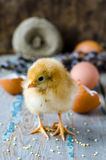 A newborn chick with twigs of willow Royalty Free Stock Image