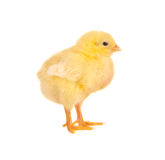 Newborn chick. Newborn yellow easter chick on a white background Royalty Free Stock Image