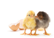 Newborn chicken Stock Photos
