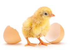 Newborn chicken Stock Image