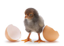 Newborn chicken Royalty Free Stock Images