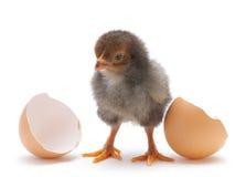 Newborn chicken Royalty Free Stock Images