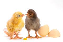 Newborn chicken Royalty Free Stock Image