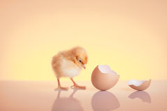 Newborn chicken Stock Images